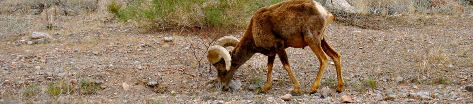Big horn sheep in Valley of Fire